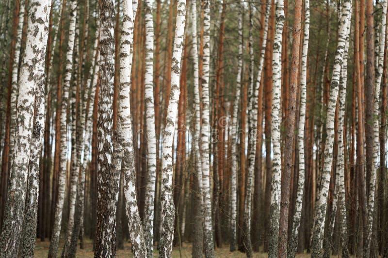 Waldung der weißen Birke im Frühjahr Hintergrund lizenzfreies stockfoto