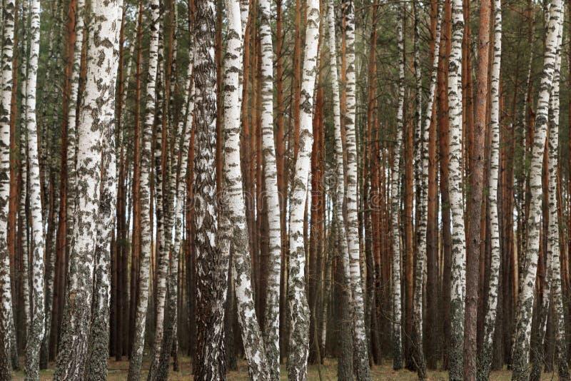 Waldung der weißen Birke im Frühjahr Hintergrund lizenzfreie stockfotos