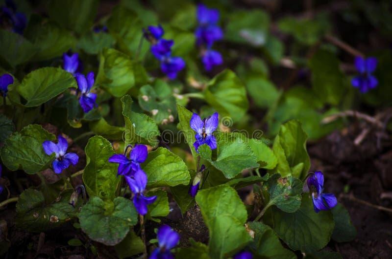 Waldveilchen im Frühjahr lizenzfreie stockfotos