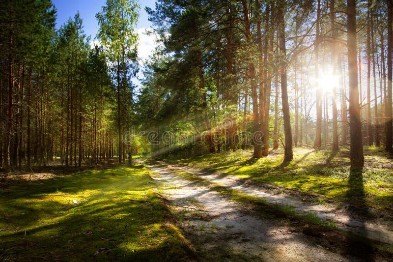 Waldweg auf altem Kiefernwald mit Strahlen des aufgehende Sonne stockbild