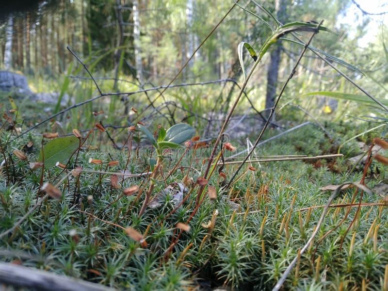 Waldwiebelpilze Birkenbrannten Bäume verlassen Sommersonnenschein stockbilder
