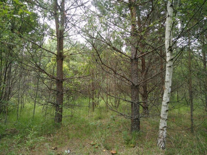 Waldwiebelpilze Birkenbrannten Bäume verlassen Sommersonnenschein stockfotos