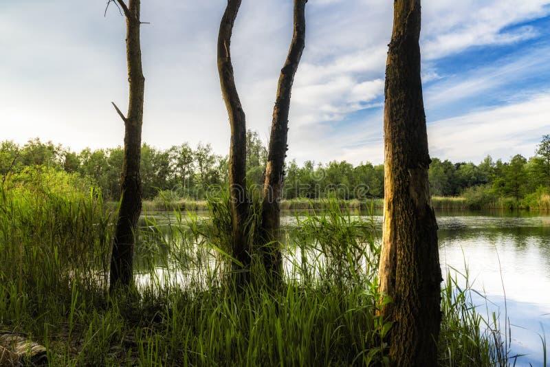 Walenhoek, Niel, B?lgica: ?rboles muertos delante de un peque?o lago hermoso en la hora de oro fotos de archivo libres de regalías