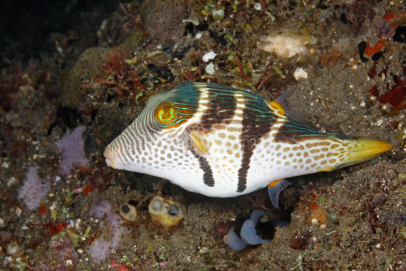 Walentynek Pufferfish zdjęcie stock