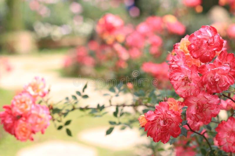 Walentynka dnia tło i colours róża zdjęcie stock