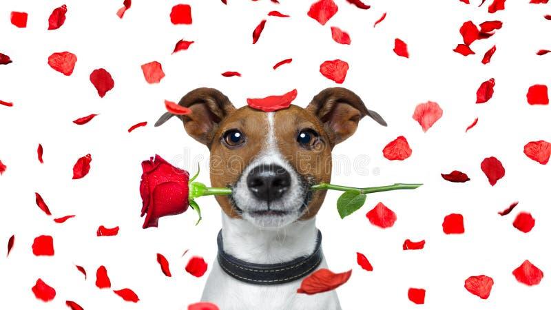 Walentynka pies obrazy royalty free