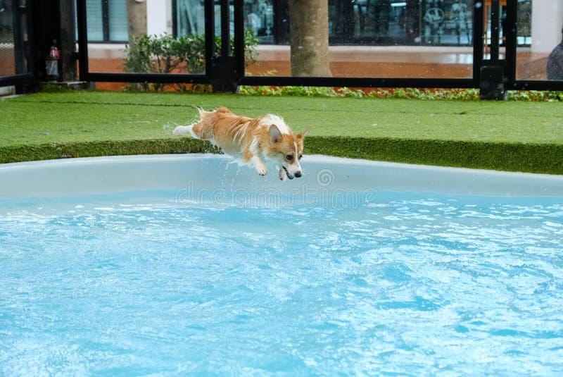 Walesisk corgihundframgång som övervinner skräck av att hoppa in i simbassäng på sommarhelg Corgivalpar är lyckliga att hoppa in  royaltyfri foto