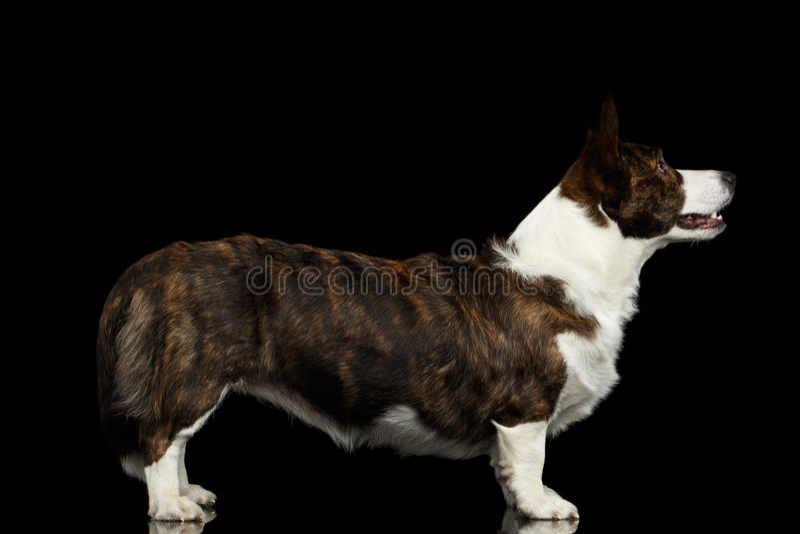 Walesisk Corgikoftahund på isolerad svart bakgrund arkivfoton