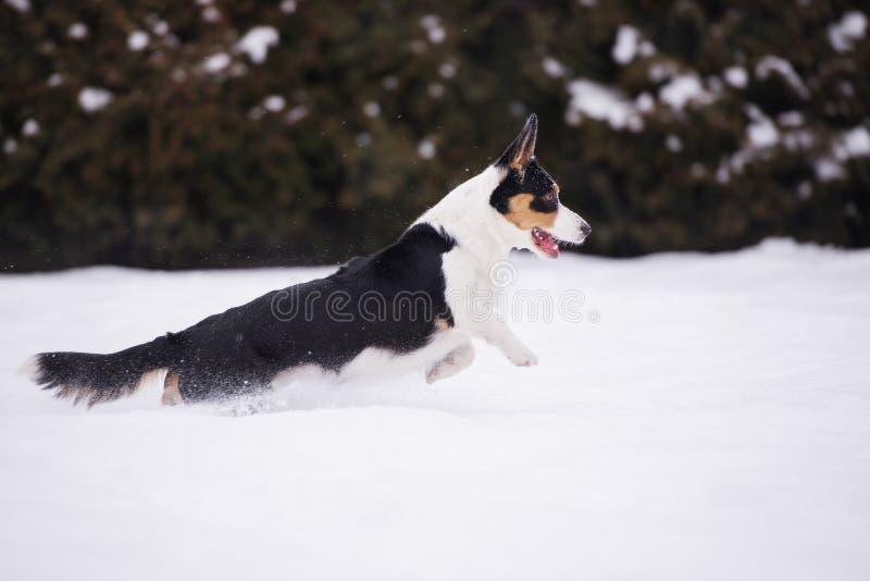 Walesisk corgikoftahund utomhus i vinter royaltyfri bild