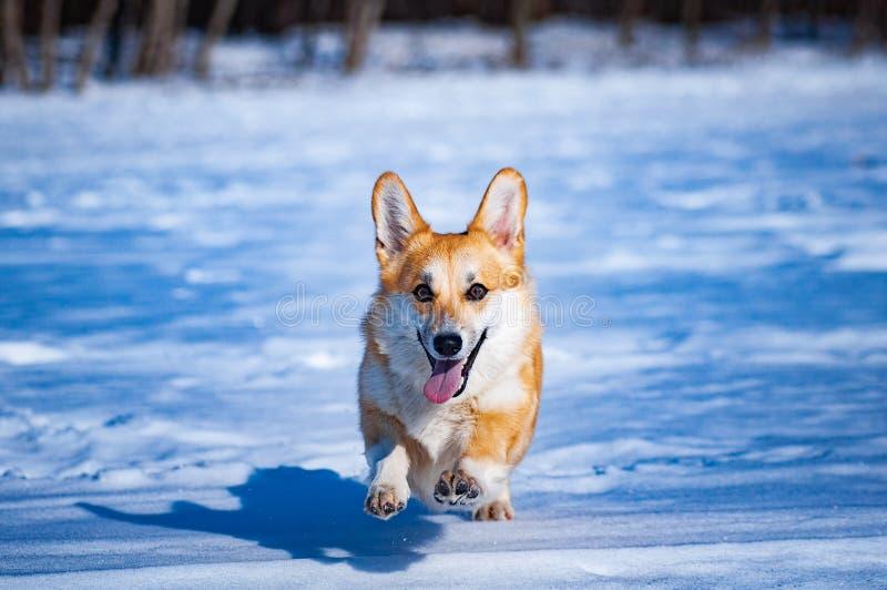 Walesisk CorgiPembroke för hund royaltyfri foto