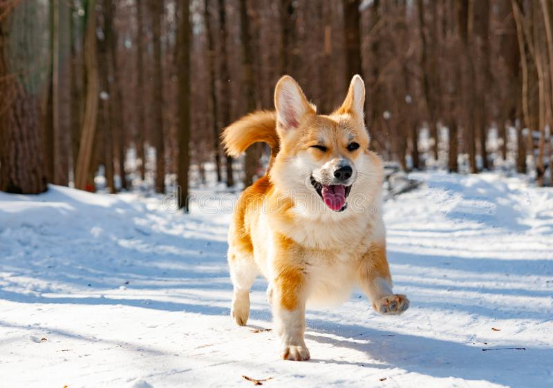 Walesisk CorgiPembrokehund royaltyfri foto