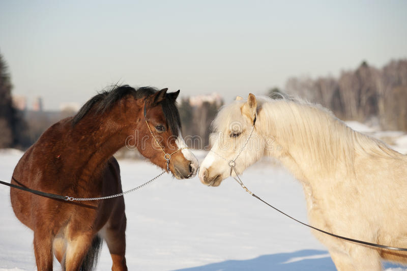 Walesiska ponnyer arkivfoto