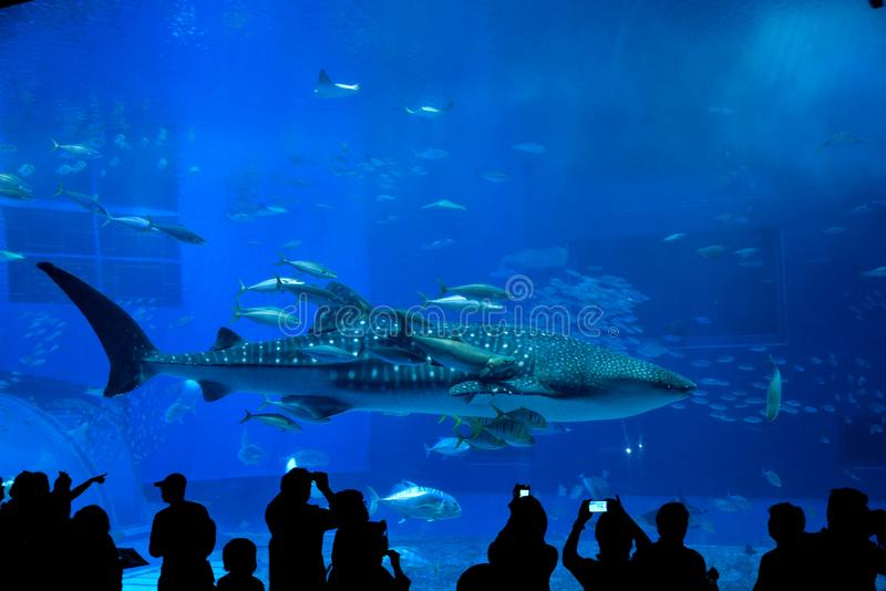 Walhai in Okinawa Churaumi Aquarium stockbild