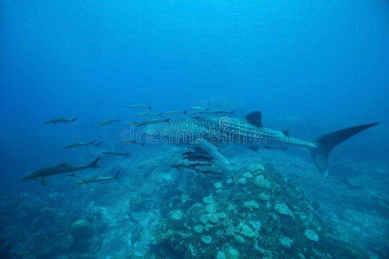 Walhai Rhincodon typus Schwimmen an haarscharfem Blau w stockfotos