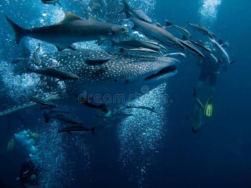 Walhaifisch stockfotografie