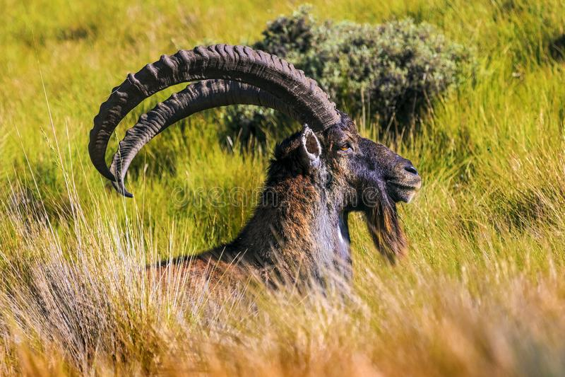Walia高地山羊, Simien山 免版税库存照片