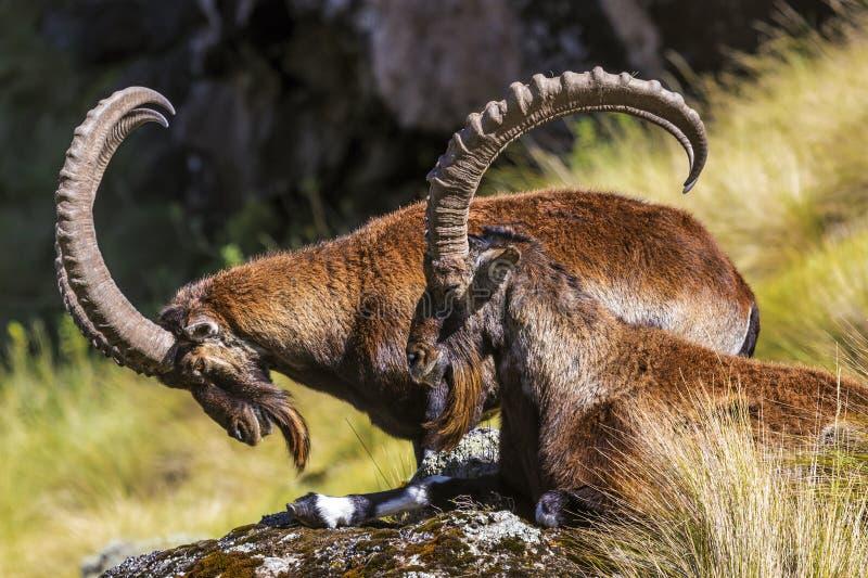 Walia stenbock, Simien berg royaltyfri bild