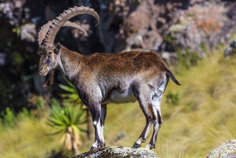 Walia stenbock, Simien berg arkivfoto