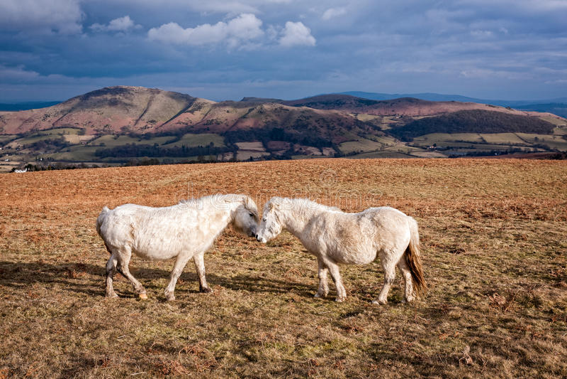 Walijscy koniki na Angielskim Moorland obraz royalty free
