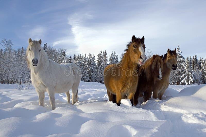 Walijscy koniki w śniegu zdjęcie royalty free