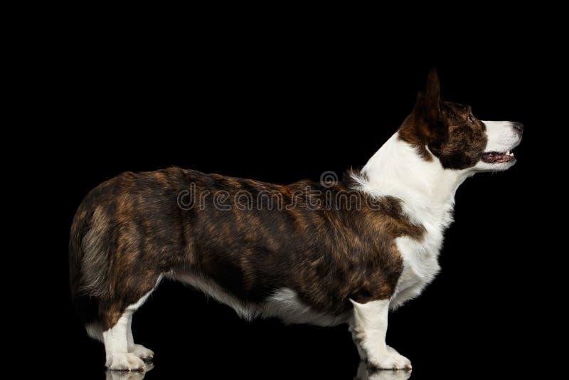 Walijski Corgi kardiganu pies na Odosobnionym Czarnym tle zdjęcia stock