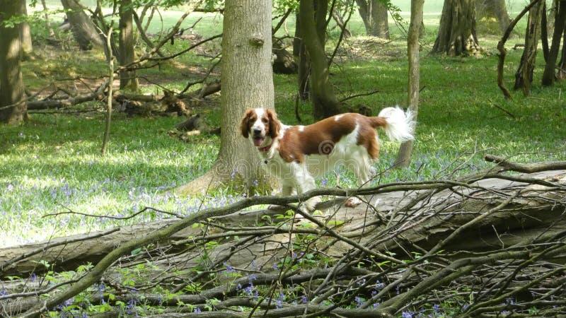 Walijskiego springera spaniel Wspina si? drzewa zdjęcie royalty free