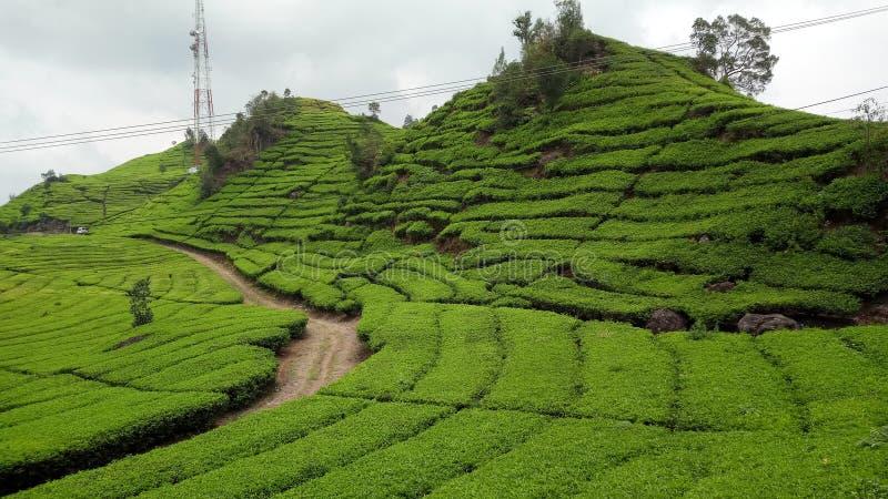 Walini van theeaanplantingen, Ciwalini, Bandung, Indonesi? royalty-vrije stock foto