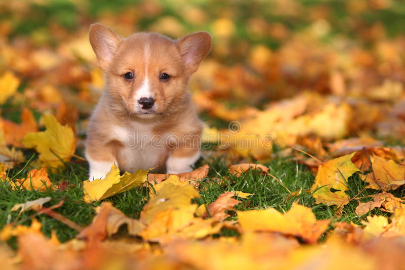 Waliser-Corgi-Welpe, der in Autumn Leaves sitzt stockfotografie