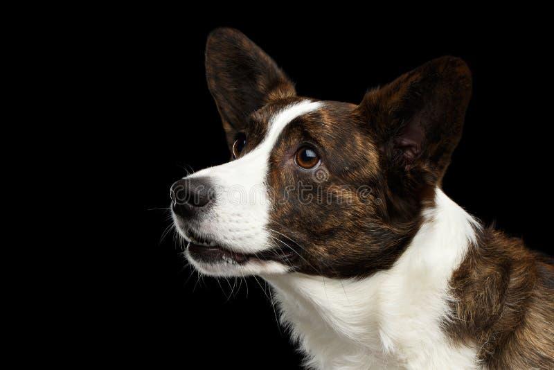 Waliser-Corgi-Wolljacken-Hund auf lokalisiertem schwarzem Hintergrund stockbild