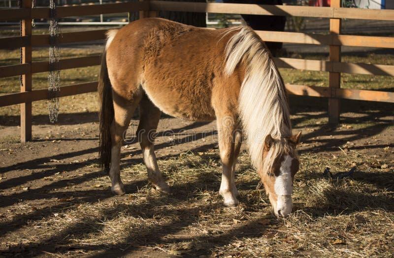 Waliser-Pony lizenzfreie stockfotos