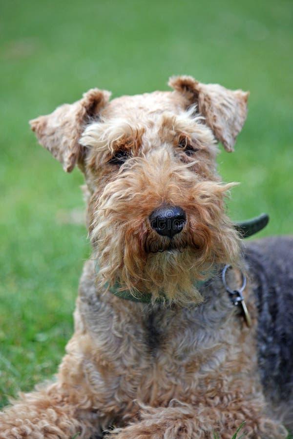 Waliser-Terrier lizenzfreie stockfotos