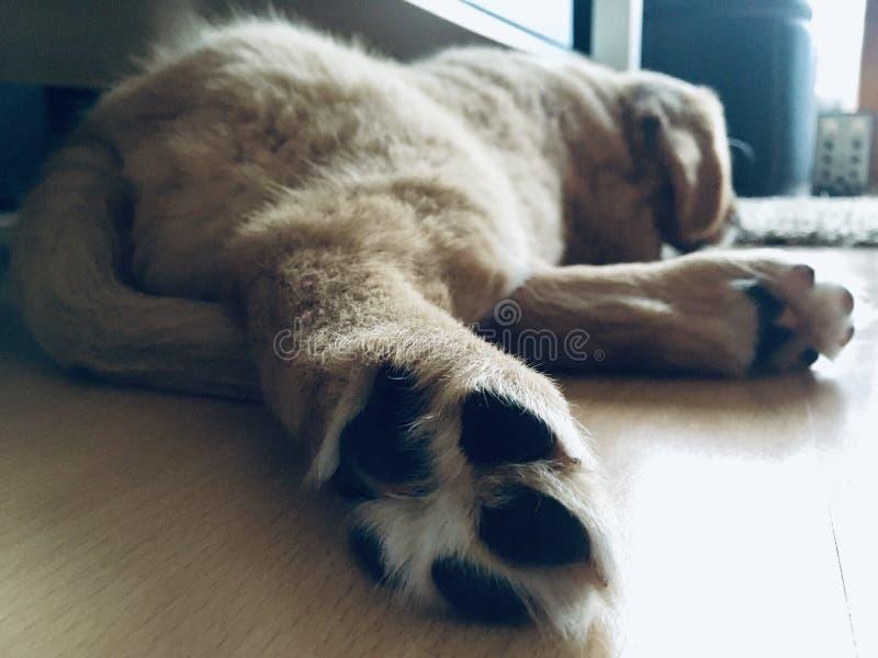 Waliser-Terrier fasten schlafend stockfotos