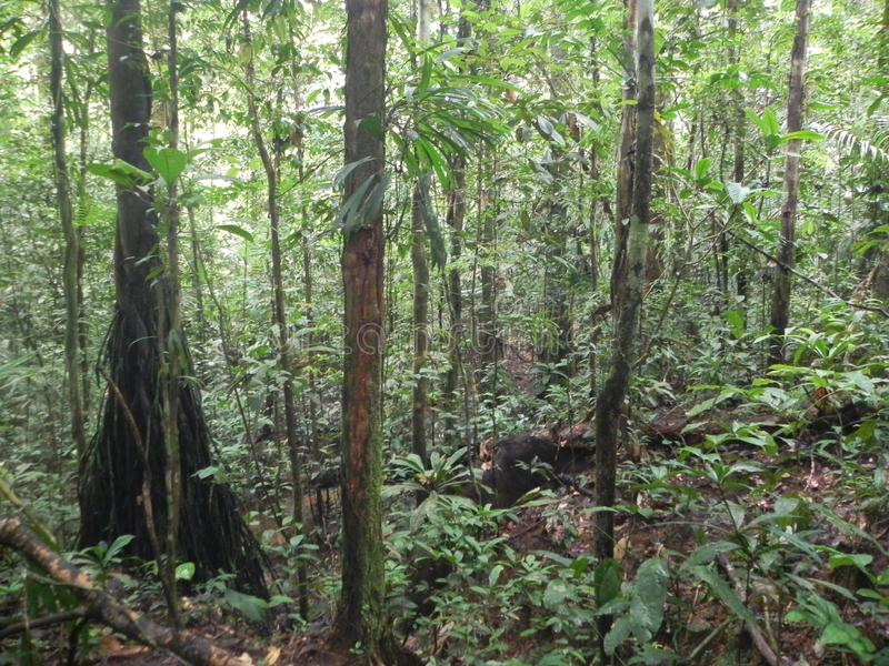 A walk in the amazon forest. A walk in the magic amazon forest surrounded by old trees and bird songs stock images
