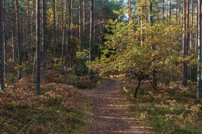 Walk in autumn forest stock images