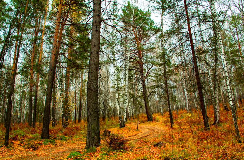 Walk through the autumn-golden forest stock photography