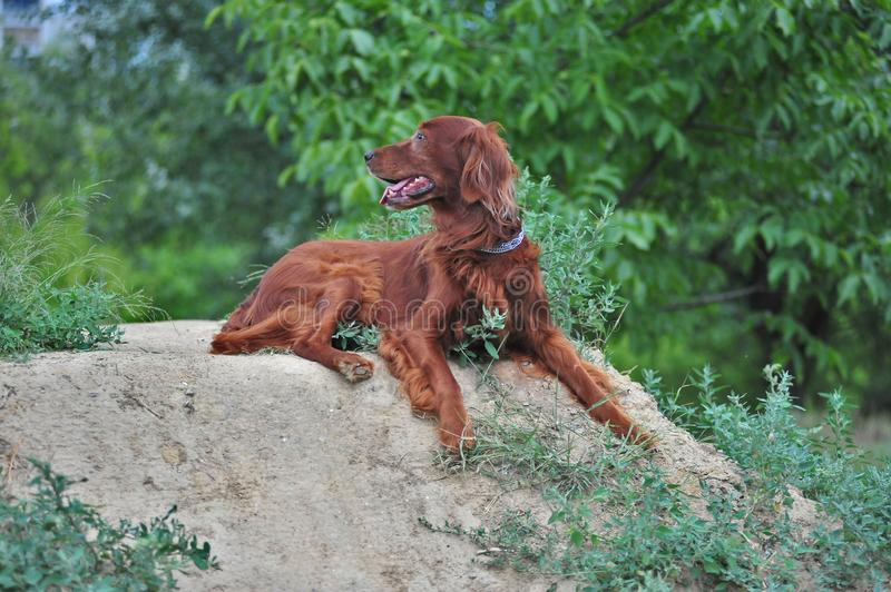 The red irish setter heard something. stock photography