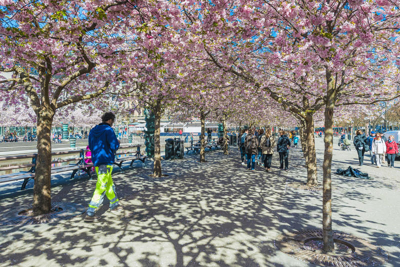 Walk in Kungstradgarden during spring with cherry flowers stock photo