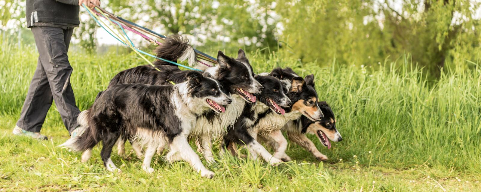 Walk with many dogs on a leash in the nature.  Border Collies stock photography