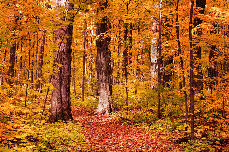 Walk Way Through Colorful Trees. Many colorful trees in a park during end of autumn stock photos