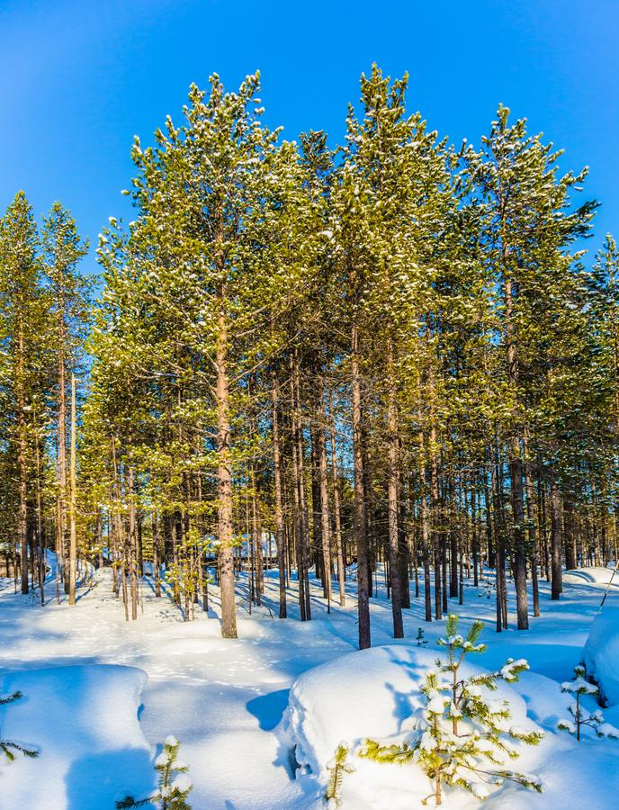Walk through the winter forest royalty free stock images
