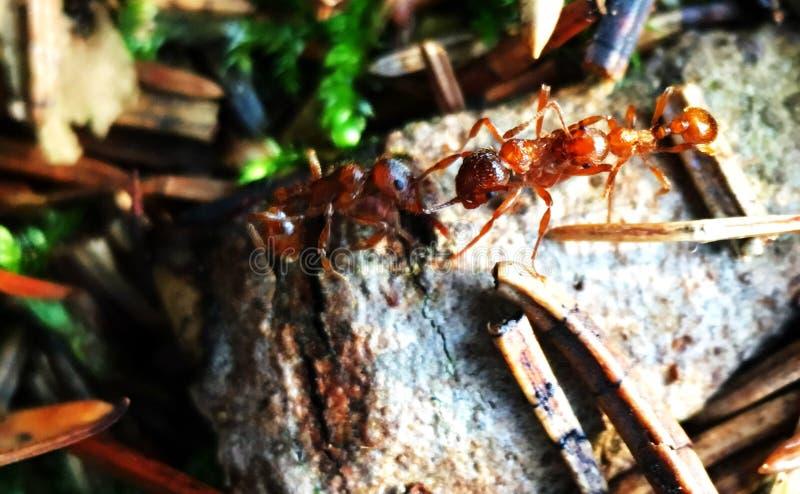 Walka klub mrówki obraz stock