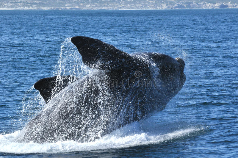 Download Walker Bay Breach stock image. Image of dripping, whales - 21688927