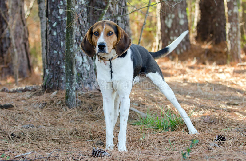 Walker Coonhound Dog. Tennessee Treeing Walker Coon hound hunting dog, outdoor pet photography for Walton County Animal Control Shelter, Georgia, Humane society royalty free stock image