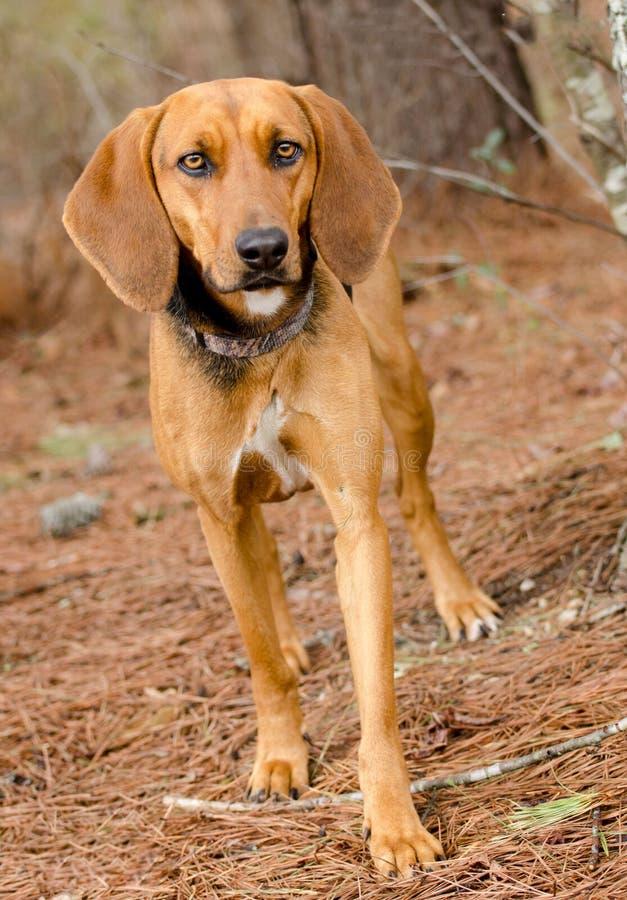 Walker Hound Foxhound mixed breed dog. Walker Hound mixed breed dog, outdoor pet photography, humane society adoption photo, Walton County Animal Shelter royalty free stock images