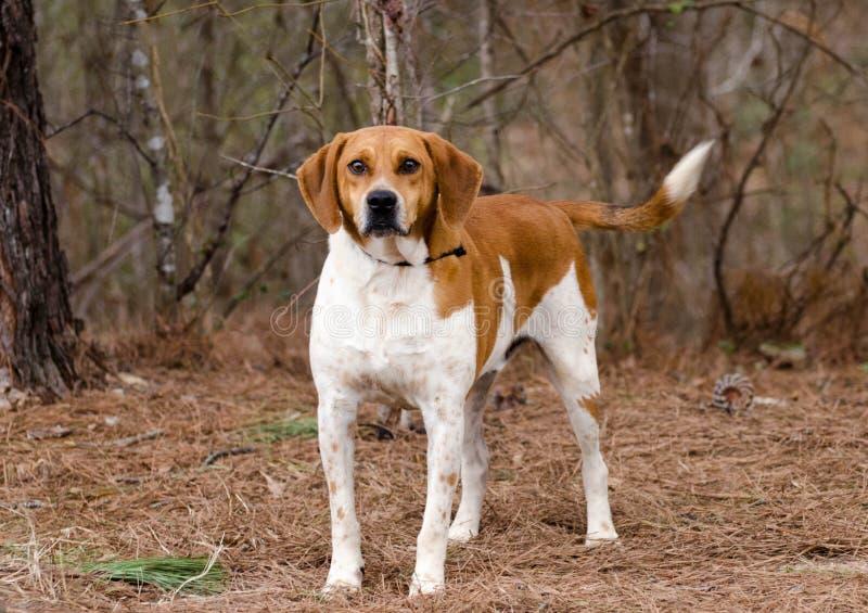 Walker Hound mixed breed dog. Outdoor pet photography, humane society adoption photo, Walton County Animal Shelter, Georgia stock images