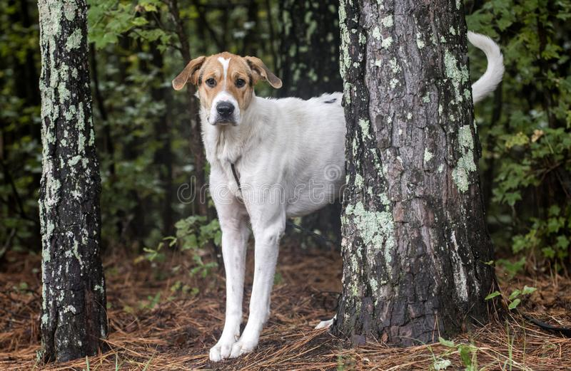 Walker Hound mixed breed dog. Scared white and tan Walker Coonhound mix dog outdoors in pine woods on leash. Dog rescue animal shelter pet adoption photo for stock photos