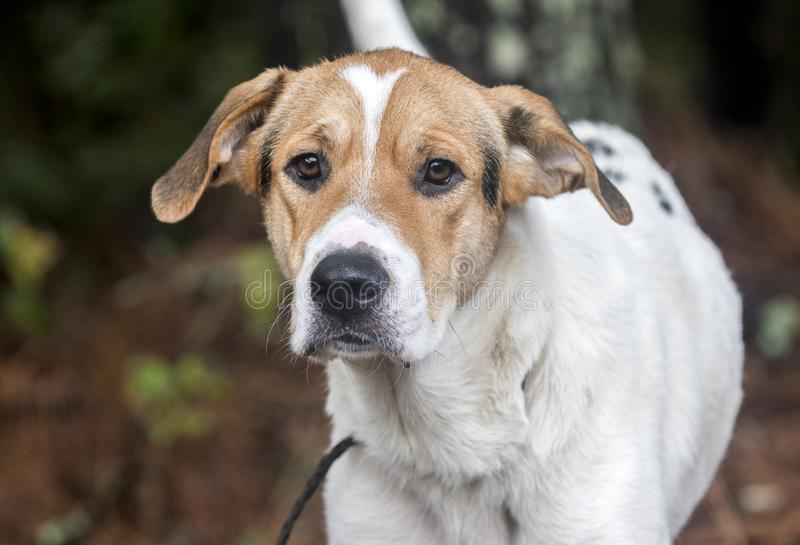 Walker Hound mixed breed dog. Scared white and tan Walker Coonhound mix dog outdoors in pine woods on leash. Dog rescue animal shelter pet adoption photo for royalty free stock photography