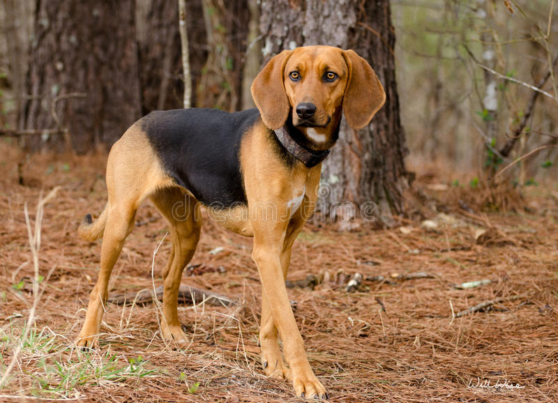 Walker Hound mixed breed dog stock images