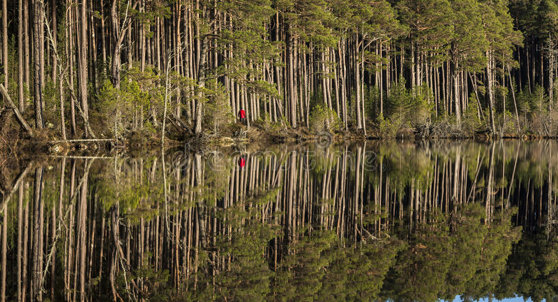 Walker in Scots Pine forest at Loch Mallachie in the Scottish Highlands. Walker in Scots Pine forest at Loch Mallachie in the Cairngorms National Park of stock images
