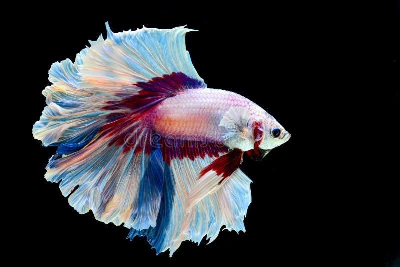 Walki halfmoon rybia fantazja fotografia stock